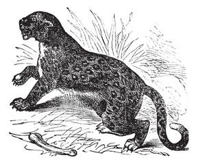 Felis leopardus, vintage engraving