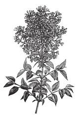 Syringa vulgaris (lilac or common lilac) vintage engraving
