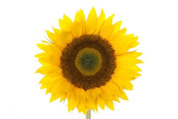 Sonnenblume Stile 17