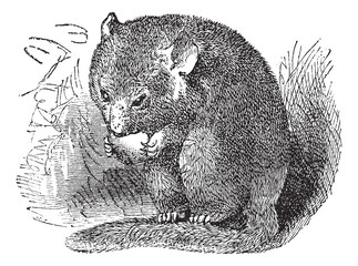 Hazel Dormouse or Muscardinus avellanarius vintage engraving