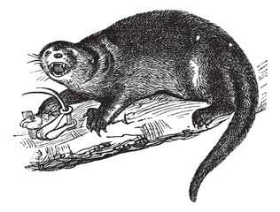 North American river otter or Lontra canadensis vintage engravin