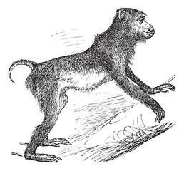 Pig-tailed macaque or Macaca nemestrina vintage engraving