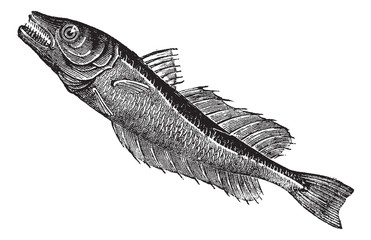 Common European hake (Merluccius vulgaris), vintage engraving