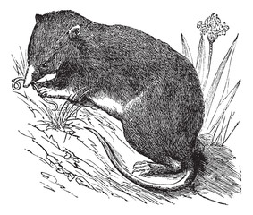Common Shrew or Eurasian Shrew or Sorex araneus, vintage engrave