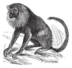 Ursine Howler or Alouatta arctoidea, vintage engraved illustrati
