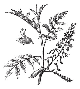 Peru Balsam or Myroxylon peruiferum, vintage engraved illustrati