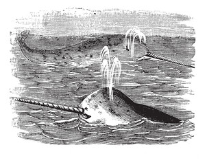 Narwhal or Monodon monoceros, vintage engraved illustration