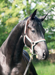 portrait of amazing black stallion