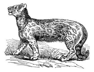 Snow leopard, Uncia uncia, Leopardus uncia or Panthera uncia, vi