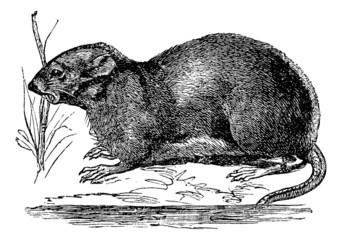 Ondatra, Fiber zibethicus or Muskrat, vintage engraving