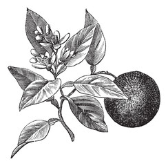 Sweet orange or Citrus aurantium, isolated on white, vintage eng