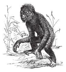 Orangutan or Pithecus satyrus, vintage engraving