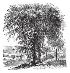 American elm or Ulmus Americana, vintage engraving