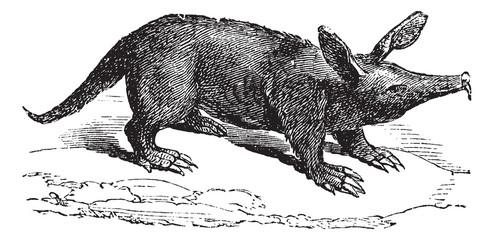 Aardvark or Orycteropus, vintage engraving.