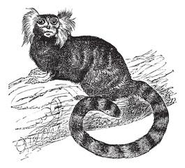Common marmoset (Hapal jacchus), vintage engraving