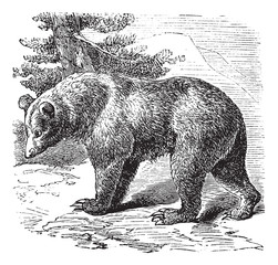 Cinnamon Bear (Ursus occidentalis), vintage engraving
