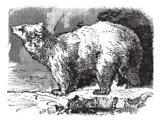Polar bear (Ursus maritimus), vintage engraving