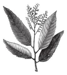 Sourwood or Sorrel Tree or Oxydendrum arboreum, vintage engravin