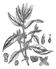 Lichwort or Pellitory-of-the-wall or Parietaria officinalis, vin