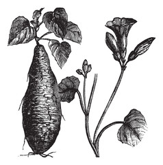 Sweet Potato or Ipomoea batatas, vintage engraving
