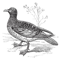 Cape Petrel or Cape Pigeon or Daption capense, vintage engraving