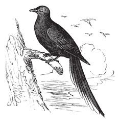 Passenger Pigeon or Wild Pigeon (Ectopistes migratorius), vintag