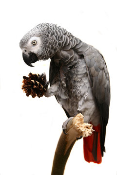 An African Grey Parrot isolated on a white background