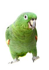 Foto op Aluminium Papegaai Mealy Amazon parrot (Amazona farinosa)