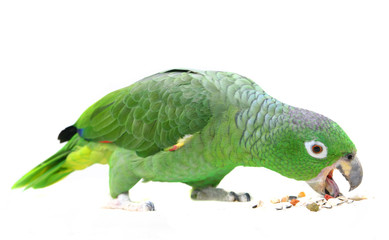 Wall Mural - Mealy Amazon parrot (Amazona farinosa) eating