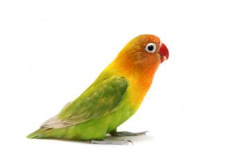 Lovebird Agapornis fischeri (Clarified a morph)