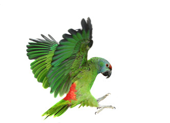 Flying festival Amazon parrot on the white background
