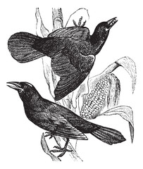 Purple grackle. (Quiscalus versicolor). - 1. Female. 2. Male, vi