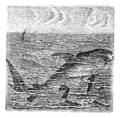 Great white shark or Carcharodon carcharias vintage engraving