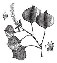 Chinese tallow tree or Sapium sebifera vintage engraving