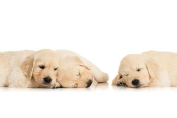 three sleeping puppies