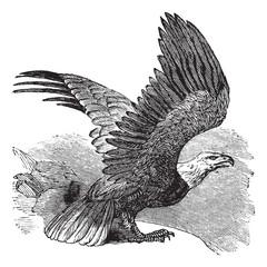 Bald Eagle (Haliaeetus leucocephalus), vintage engraving.