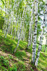 Garden Poster Birch Grove white birch forest landscape
