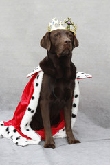 als König verkleideter Labrador