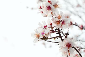 Papiers peints Fleur de cerisier almond blossom