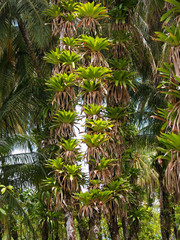 Epiphytes on coconuts trees