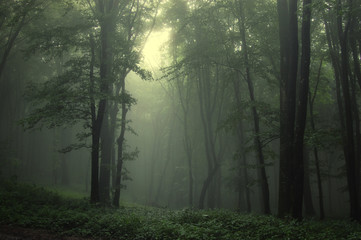 Papiers peints Foret brouillard Green forest after rain
