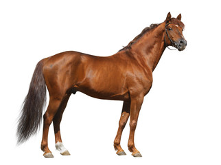 Wall Mural - Sorrel Don stallion isolated on white