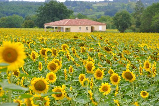 sunflower field, Gascogne, France Sonnenblumen Frankreich