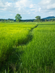 Way in  rice field and backgroud sky