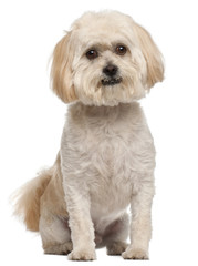 Mixed-breed dog, 5 years old, sitting