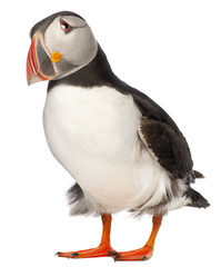 Atlantic Puffin or Common Puffin, Fratercula arctica