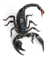 Emperor Scorpion,  Pandinus imperator, 1 year old