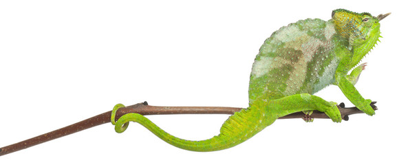 Four-horned Chameleon, Chamaeleo quadricornis, perched on branch