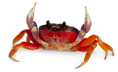 Red land crab, Gecarcinus quadratus