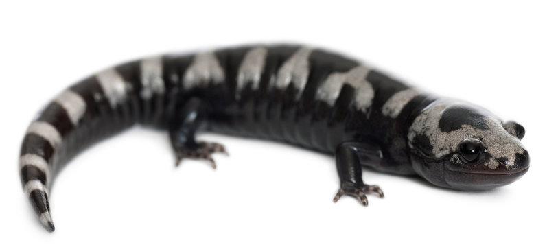 Marbled Salamander, Ambystoma opacum